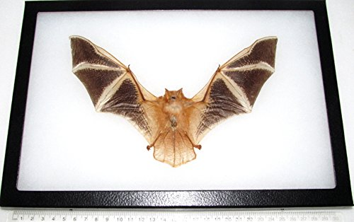 BicBugs Real Framed Preserved MUMMIFIED FIRE BAT KERIVOULA PICTA Wings Spread 12IN X 8IN Frame!