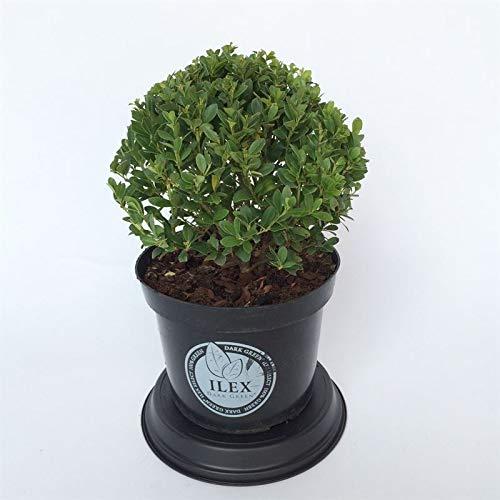Stechpalme Ilex Sorte: Dark Green® (Ilex crenata). Buchsbaum-Ersatz, dunkelgrünes Laub, schnittverträglich, winterhart und immergrün, (Kugel ca. 20cm im Durchmesser, im 19cm Topf)