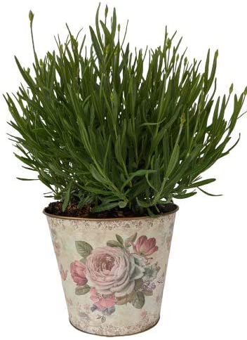 L + - Planter and Live Very Lavender Fragrant Provence Max 44% OFF Regular discount French