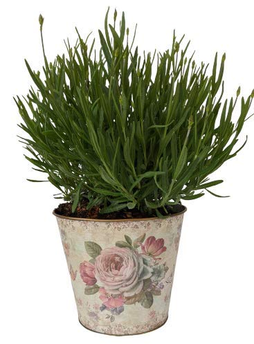 L + - Planter and Live Provence French Lavender - Very Fragrant - 1gal Size Tin Vase - Package Includes Vase and Lavender Plant