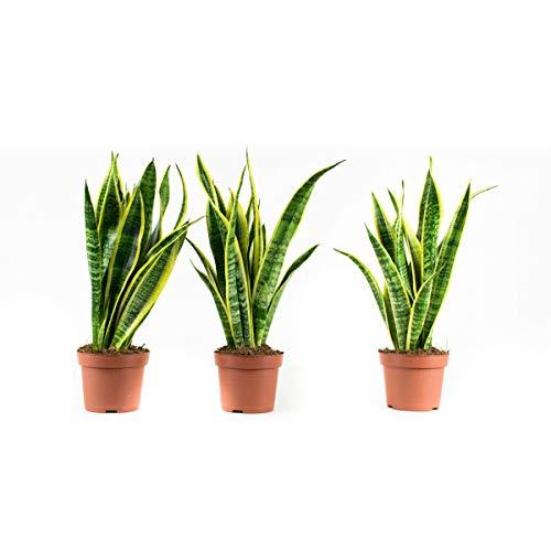 Plantes d'intérieur de Botanicly – 3 × Sansevieria Laurentie – Hauteur: 30 cm