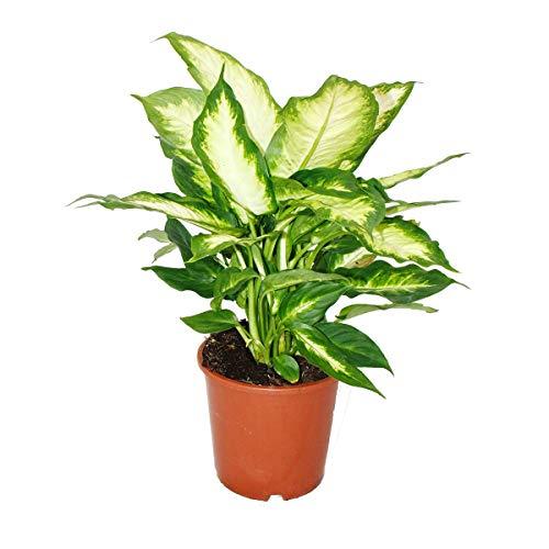 Exotenherz - Dieffenbachia - Zimmerpflanzen - Topfpflanze für Anfänger 17cm Topf