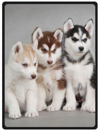 YISUMEI - Coperta in morbido pile – Siberian Husky Cuccioli Cani Animali Domestici, 150 x 200 cm, adatta per letto o divano