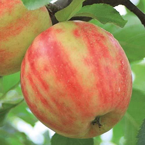 Müllers Grüner Garten Shop Karneval, Apfelbaum Apfel aus Vanda x Cripps Pink ca. 150-170 cm im 10 Liter Topf, Unterlage M7