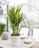Dypsis Lutescens Areca Palm Planta tropical para interior | Maceta de 13 cm