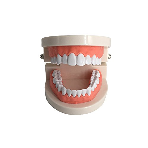 Standard Teeth Model, YOUYA DENTAL Kids Dental Teaching Study Supplies Adult Standard Typodont Demonstration Teeth Model(Without Wisdom Teeth)
