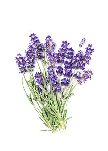 Lavender Seeds for Planting - Over 100 Seeds to Plant English Lavender Flower Herbs.