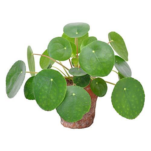 Pilea peperomioides inclusive Ziertopf | Urticaceae | Glückstaler | Chinesischer Geldbaum | Ufopflanze | Topfgröße Ø 12 cm | Terracotta Ziertopf Ø 14 cm