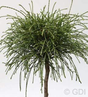 Hochstamm Faden Lebensbaum Whipcord 40-60cm - Thuja plicata