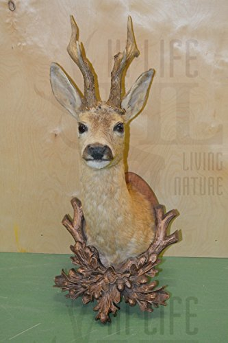 Hi-Life Living Nature 002CAPI Trofeo de corzo embalsamado, Caza, taxidermia. Taxidermy Roedeer