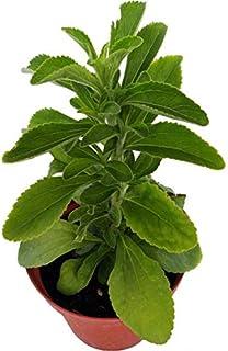 Estevia Planta Natural en Maceta 10cm (Stevia Rebaudiana) Planta Edulcorante