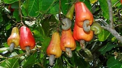 Anacardium Occidentale - Cashew-Baum - seltene tropische Pflanze Baum Samen (3)