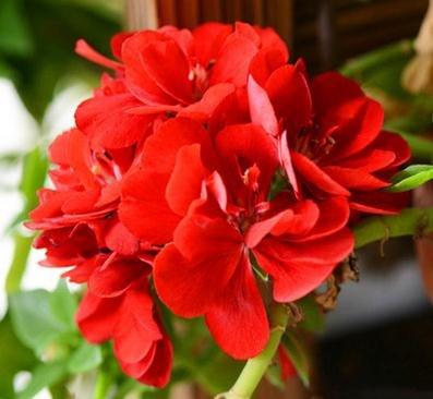 2016 Vente SEMENTES A Package 20 Pcs Géranium Seeds vivace Fleur Pelargonium peltatum Pour Chambres Indoor 17 Couleurs disponibles