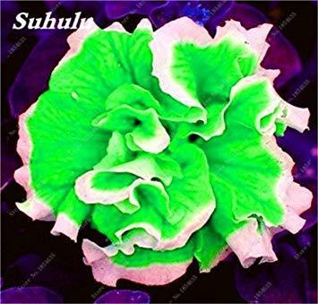 VISTARIC 22: Japon Bonsai Annona Corossol Graine Heirloom Annona Graine de plantes en pot Juicy Fruit Succulent Graine Rare Outdoor vivace Arbre 5 Pc 22