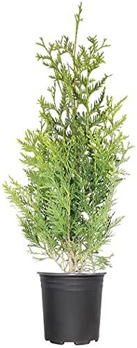 Green Giant Arborvitae | 5 Live 1 Gallon Trees | Thuja Plicata | Evergreen Privacy Screening Plants