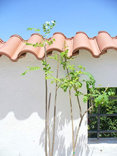 Moringa oleifera, Miracle/Health Tree 2 jonge bomen 140-160cm hoog