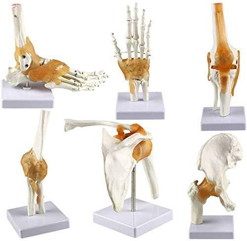 Knochen Scientific Medizinstudium Skelett Anatomie Menschlicher Körper 6 Stück Gemeinsame Modelle Serie Modell Mensch Schulter Ellbogen Hüfte Knie Hand Fuß Gelenkknochen Modelle,1