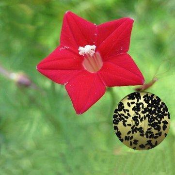 Generic Generische Zypresse Reben Samen Rot Weiß Garten Wand Tür Klettern Blumen Pflanzen - Red-20Pcs / Pack