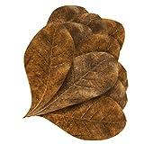 Mini Catappa Leaves