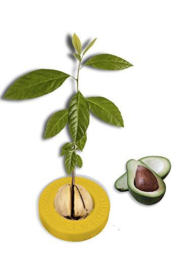 R&R SHOP Avocado Kit Germinator - Schwimmender Topf für die Avocado-Keimung, Samenwachstumskit, 100% recycelbarer und zusammensetzbarer Maisplastik (Gelb)