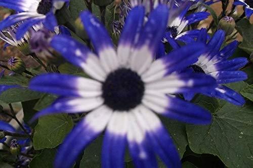 Portal Cool Purpurrotes weißes und blaues Gänseblümchen blüht Senetti Pericallis Jährliche Blumen 100 Samen