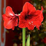 BlooMaker Evergreen Waxed Giant Amaryllis Bulb, 14 in, Red Flower-2 Piece Cottage Farms
