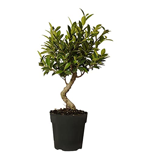 United Nursery Ficus Retusa Bonsai Tree Live Indoor Houseplant Shipped in 6 inch Grower Pot 16-22 inches Tall
