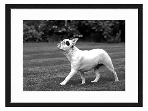 Wood Framed Canvas Artwork Home Decore Wall Art (Black White 20x14 inch) - Dog French Bulldog Walk Grass Animal