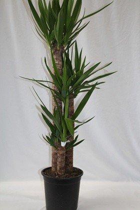 Yuca (3 troncos) - Planta viva de interior