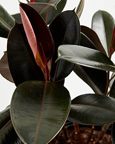 Ficus Elastica 'Burgundy' Rubber Tree Plant Hardy Tropical Houseplant