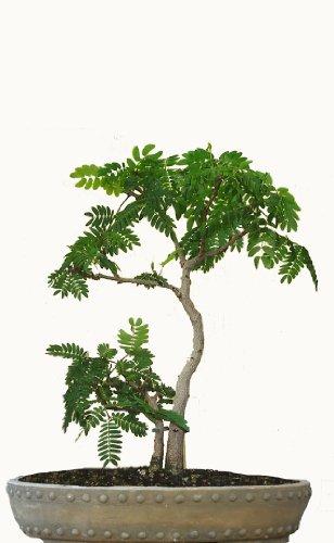 Seedeo Bonsai Anzuchtset Schlafbaum/Seidenakazie (Albizzia julibrissin)