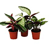 Exotenherz - Schattenpflanzen 3er Set - mit ausgefallenem Blattmuster - Calathea - 7cm Topf - ca. 20cm hoch