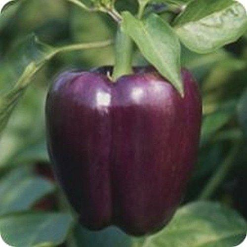 PLAT FIRM GERMINATIONSAMEN: 100 - Seeds: Sweet Purple Beauty Paprika - A SWEET & Beautiful Pfeffer !! KOSTENLOSER VERSAND!!!