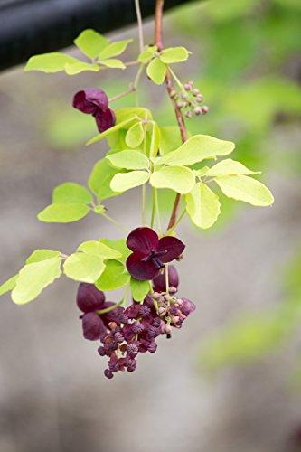Kletterpflanze - Blaugurkenwein - Fingerblättrige Akebie - Akebia quinata - 60-70cm Topf 2 Ltr.