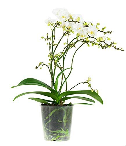 Orquídea flor blanca | Phalaenopsis | Planta interior | Altura 50 cm