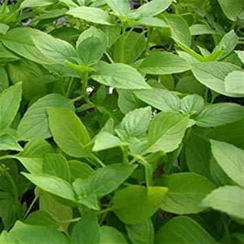 SANHOC Samen-Paket: Frische 0 Seeds - Lemon BasilSeeds