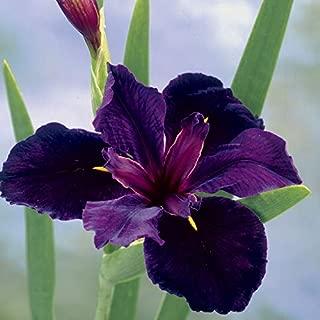HOT - Iris Black Gamecock Louisiana IRIS Seeds