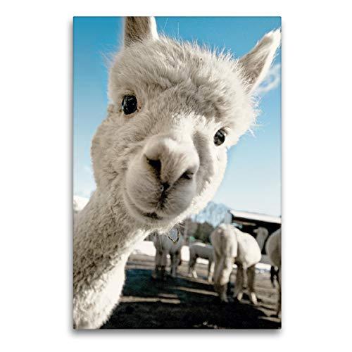 CALVENDO Premium Textil-Leinwand 60 x 90 cm Hoch-Format Selfie time – Junges Alpaka mit weißem Fell, Leinwanddruck Verlag