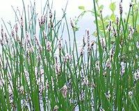 25 Filterpflanzen im Sortiment Teichpflanzen Teichpflanze Filterpflanzen - 3