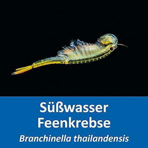 AQ4Aquaristik Thailändische Süßwasser-Feenkrebse - Branchinella thailandensis (Zuchtansatz, Urzeitkrebs-Eier) mit Anleitung - Fairy Shrimps, 1.000 Eier