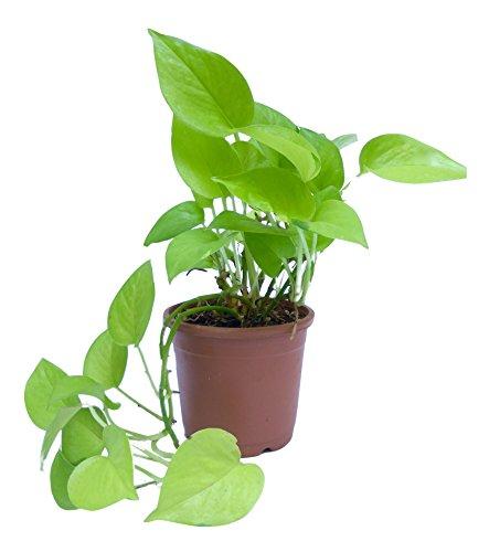 Root Bridges Indoor Golden Money Plant (Pot included)