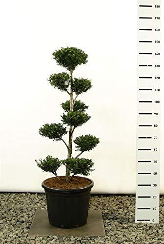Taxus baccata POM POM - Formschnitt Formgehölz Gartenbonsai - Größenauswahl (125-150 cm im 20 Liter Topf Multiplateau)