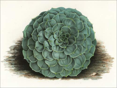 Poster 40 x 30 cm: Echeveria secunda. von P. de Pannemaeker/Fotofinder.com - hochwertiger Kunstdruck, neues Kunstposter