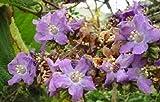 SmartMe Wigandia ecuadorensis Muy Raro Arbusto Lila Exótica o Árbol Pequeño 20 Semillas