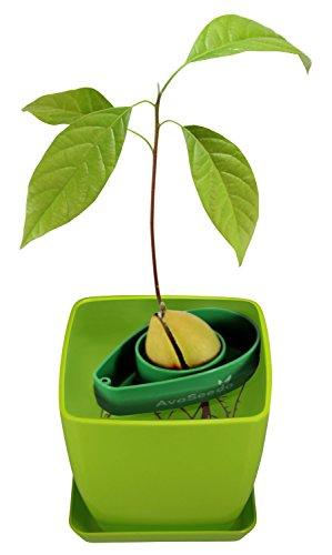 AvoSeedo Bowl Set Grow Your Own Avocado Tree