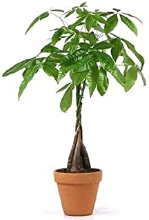 """JM Bamboo 5 Money Tree Plants Braided into 1 Tree -Pachira-4"""" clay pot for better growth between 10-12 inches tall"""