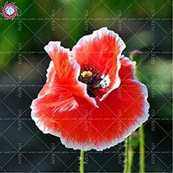 100pcs rouge de fleur de pavot graines Bonsai. Rare Papaver ORIENTALE graines en pot pour jardin maison décorée planting.semillas de flores 4