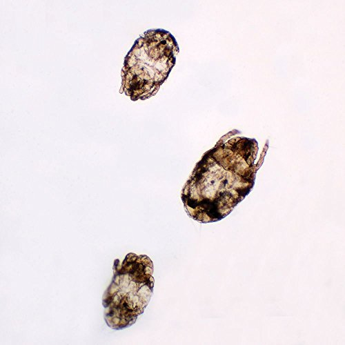 Dust Mites, w.m, Individual Microscope Slide