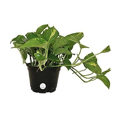 Costa Farms Golden Pothos Ivy Live Indoor Tabletop Plant in 6-Inch Grower Pot