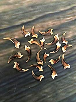 20 Real Red Fox Claws Toes Bone Mountain Man Craft Skull Jewelry Earring Gothic